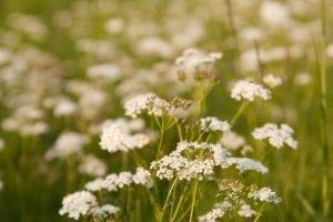 pignut flowers